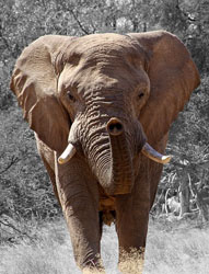 Researchers Discover Cancer Resistant Gene in Elephants